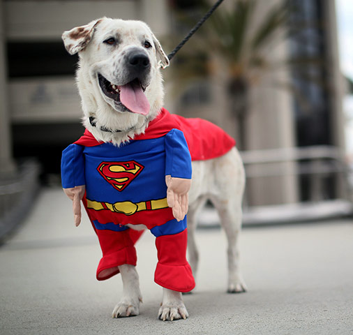 Beckham the dog sports a Superman costume during Comic-Con