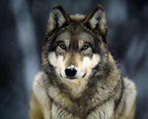"""""""Ho sempre nutrito una grande passione per i cani, e non potrei mai fare a meno della loro presenza. Il lupo conserva tutte le caratteristiche somatiche del suo cugino domestico aggiungendo però, dopo secoli di adattamento territoriale, una struttura sociale pressoché perfetta."""" (Elena Cavicchi)"""