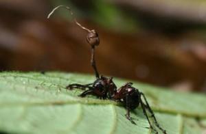 Alcuni funghi sono in grado di sfruttare le formiche per raggiungere luoghi adatti in cui ucciderle e quindi rilasciare le proprie spore.